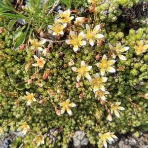 Photographie n°2330431 du taxon Saxifraga bryoides L. [1753]