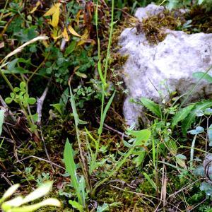 Photographie n°2330456 du taxon Lactuca perennis L.