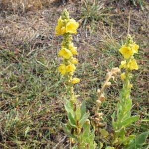Photographie n°2330785 du taxon Verbascum thapsus L.