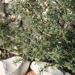 Photographie n°2330848 du taxon Amaranthus blitoides S.Watson [1877]