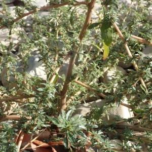 Photographie n°2330851 du taxon Amaranthus blitoides S.Watson [1877]