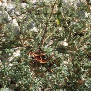 Photographie n°2330852 du taxon Amaranthus blitoides S.Watson [1877]