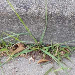Photographie n°2331127 du taxon Festuca arundinacea Schreb. [1771]