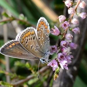 - Calluna vulgaris (L.) Hull