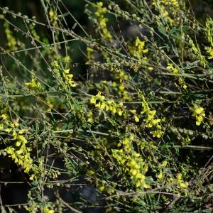 Photographie n°2331364 du taxon Trigonella officinalis (L.) Coulot & Rabaute [2013]
