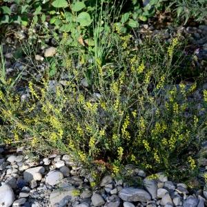 Photographie n°2331366 du taxon Trigonella officinalis (L.) Coulot & Rabaute [2013]