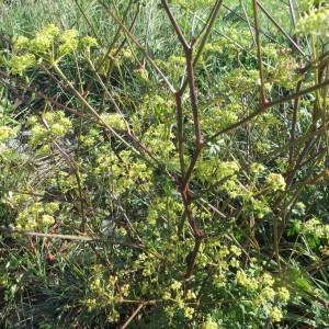 Photographie n°2331662 du taxon Xanthoselinum alsaticum subsp. alsaticum