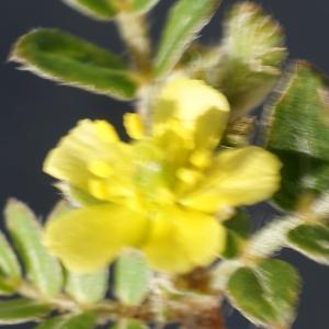 Photographie n°2331855 du taxon Tribulus terrestris L. [1753]