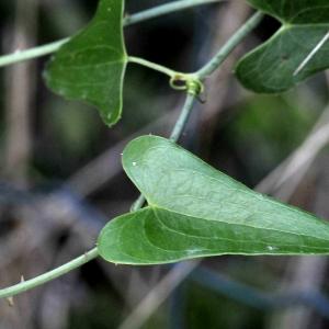 Photographie n°2331914 du taxon Smilax aspera L. [1753]