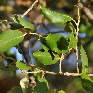 Photographie n°2331919 du taxon Quercus suber L. [1753]