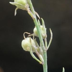 Photographie n°2331995 du taxon Linaria repens (L.) Mill. [1768]