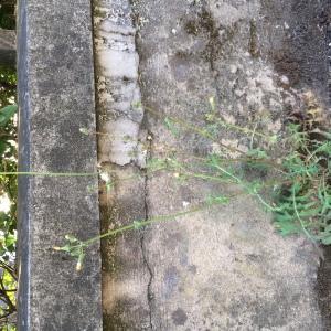 Photographie n°2332115 du taxon Crépis de Nîmes