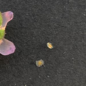 Photographie n°2332178 du taxon Spergula media (L.) Bartl. & H.L.Wendl. [1825]