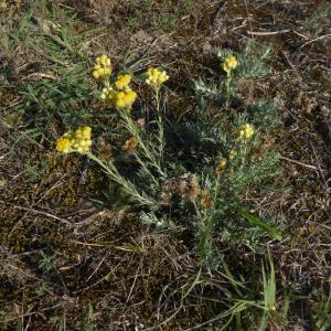 Photographie n°2332302 du taxon Helichrysum arenarium (L.) Moench