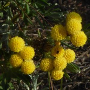 Photographie n°2332303 du taxon Helichrysum arenarium (L.) Moench