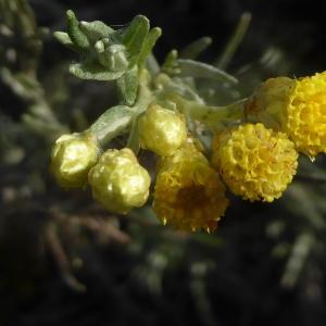 Photographie n°2332304 du taxon Helichrysum arenarium (L.) Moench
