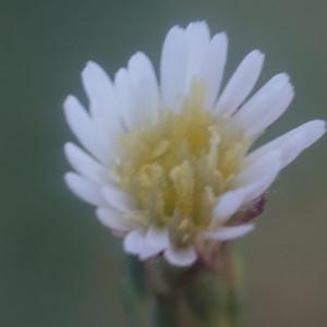- Symphyotrichum squamatum (Spreng.) G.L.Nesom [1995]