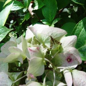 Photographie n°2332371 du taxon Hydrangea macrophylla (Thunb.) Ser.