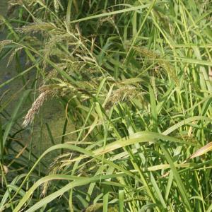 Photographie n°2332381 du taxon Echinochloa crus-galli (L.) P.Beauv.