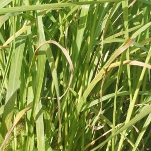Photographie n°2332382 du taxon Echinochloa crus-galli (L.) P.Beauv.