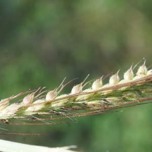 Photographie n°2332387 du taxon Echinochloa crus-galli (L.) P.Beauv.