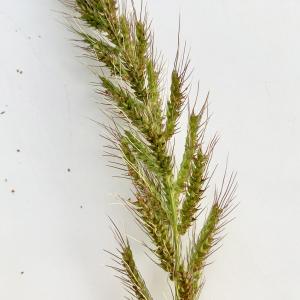 Photographie n°2332393 du taxon Echinochloa crus-galli (L.) P.Beauv.