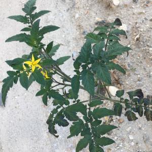 - Solanum L.