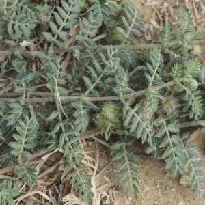 Photographie n°2332543 du taxon Tribulus terrestris L. [1753]