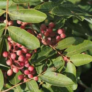 - Pistacia terebinthus L.