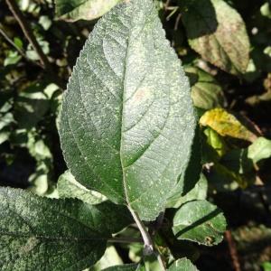 Photographie n°2332611 du taxon Malus domestica Borkh. [1803]