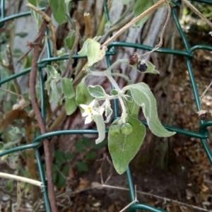 - Solanum americanum Mill.