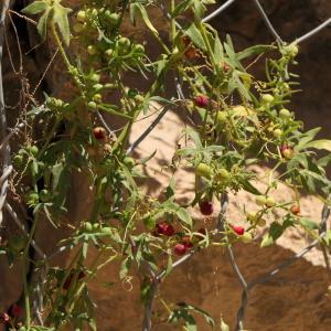 Photographie n°2332684 du taxon Bryonia dioica Jacq. [1774]
