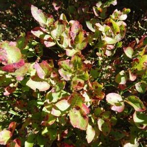 Photographie n°2332781 du taxon Vaccinium myrtillus L.