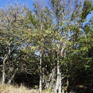 Photographie n°2332886 du taxon Sorbus aucuparia subsp. aucuparia