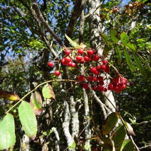 Photographie n°2332888 du taxon Sorbus aucuparia subsp. aucuparia
