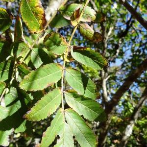 Photographie n°2332889 du taxon Sorbus aucuparia subsp. aucuparia