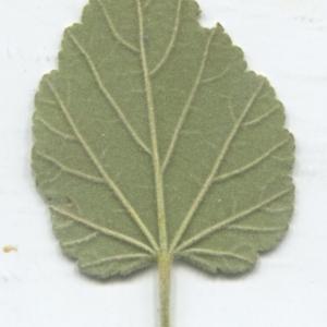 Photographie n°2332988 du taxon Althaea officinalis L. [1753]