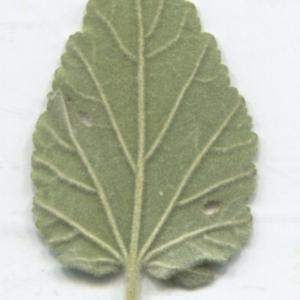 Photographie n°2332989 du taxon Althaea officinalis L. [1753]