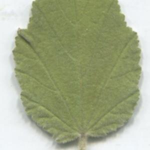 Photographie n°2332991 du taxon Althaea officinalis L. [1753]