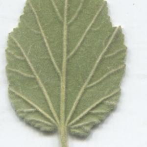 Photographie n°2332992 du taxon Althaea officinalis L. [1753]