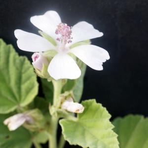 Althaea officinalis L. [1753] (Guimauve)