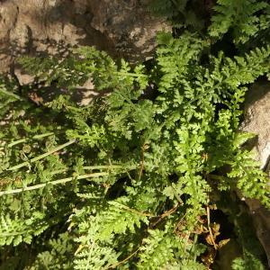 - Asplenium fontanum subsp. fontanum