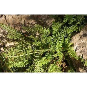 Asplenium fontanum (L.) Bernh. subsp. fontanum (Asplénium des fontaines)