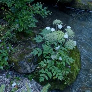 Photographie n°2333173 du taxon Angelica sylvestris L. [1753]