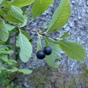 Photographie n°2333243 du taxon Lonicera nigra L. [1753]