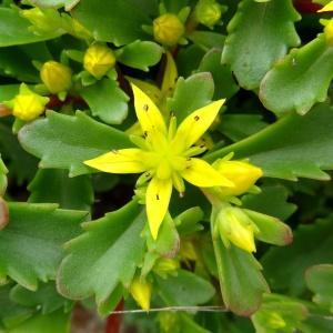 - Sedum kamtschaticum subsp. kamtschaticum