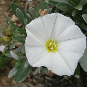 Photographie n°2333574 du taxon Convolvulus cneorum L.
