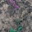 Silene colorata Poir. [nn134326] par Liliane Roubaudi le 16/03/1997 - Tunisie