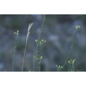 Macrosyringion longiflorum (Vohl) Rothm. [1943] (Euphraise à fleurs longues)