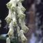 Liliane Roubaudi - Aconitum lycoctonum L. [1753]